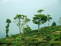 Tea Garden at Kurseong